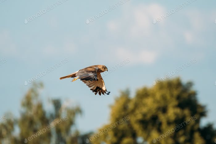 The Hen Harrier Or Circus Cyaneus Wild Bird Flies In Blue Sky In