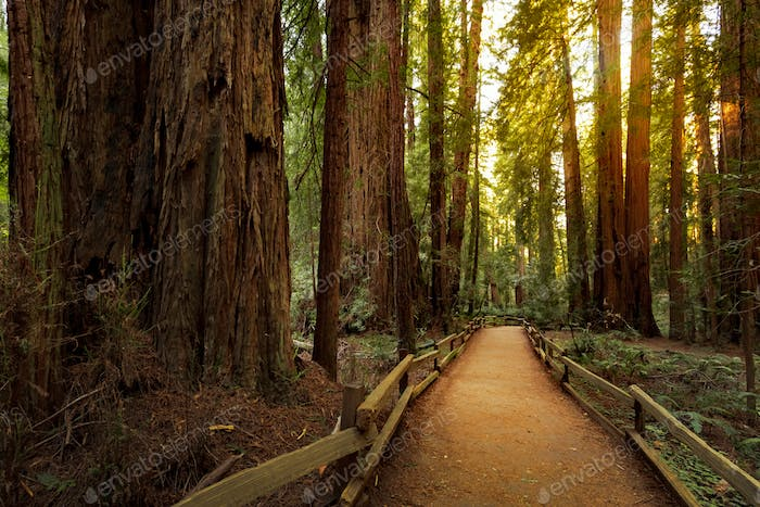 Hiking trail in redwood forest