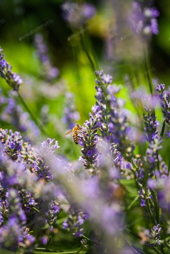 Close-up photo of a Honey Bee gathering nectar and spreading pollen on violet flovers of lavender.
