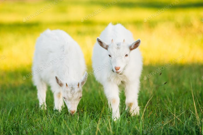 Two Kids Goats Grazes On Green Summer Grass On A Sunny Day. Goat