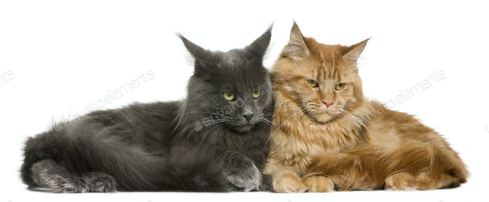 Two Maine coons, 15 months old, sitting in front of white background