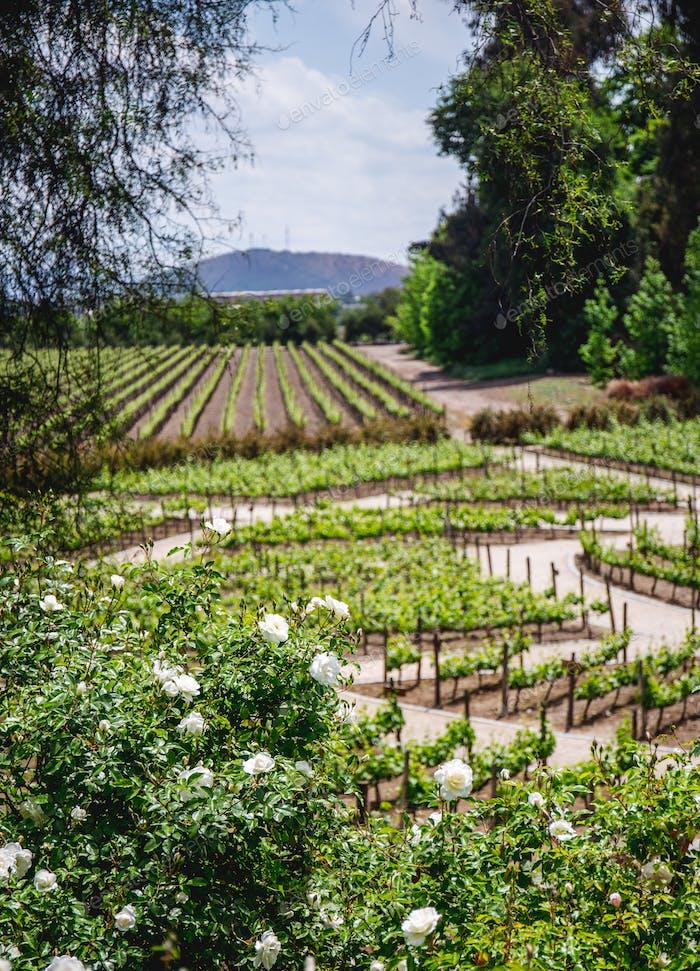 Vineyard. Landscape chilean vineyard. Rural landcape in sunny day
