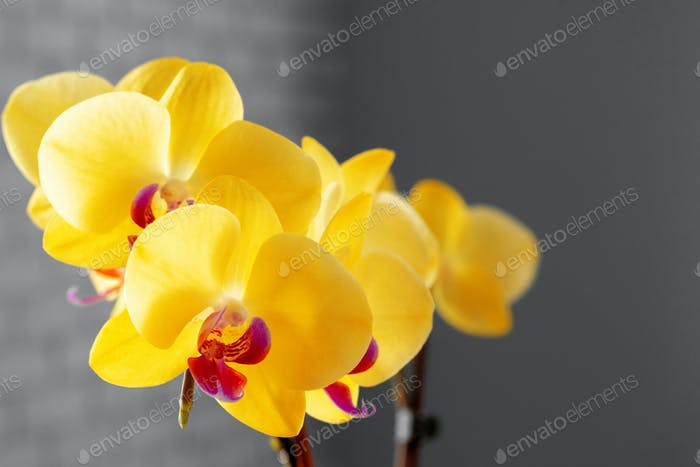 Close up of yellow flowers of Orchid