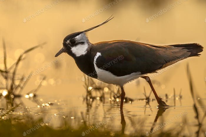 Back lit Northern Lapwing male