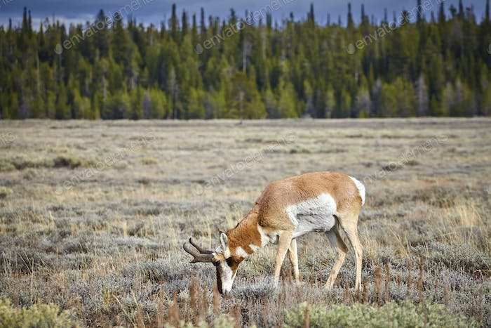 Pronghorn grazing in the Grand Teton National Park, Wyoming, USA