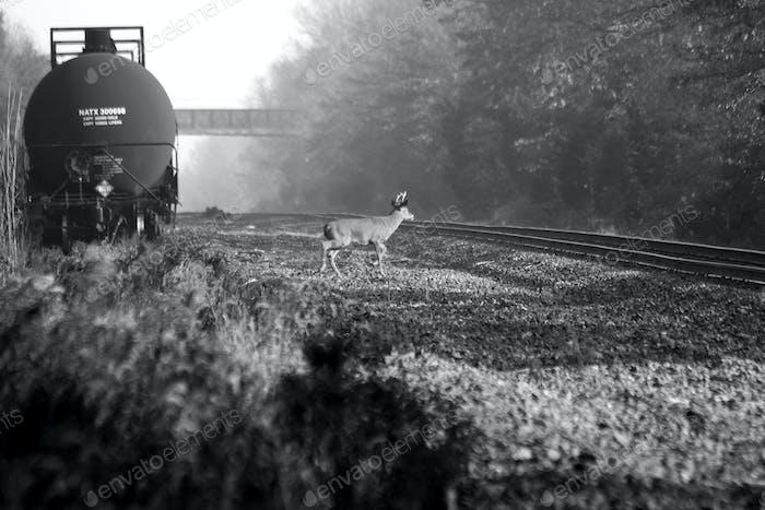 Hirsch und Zug