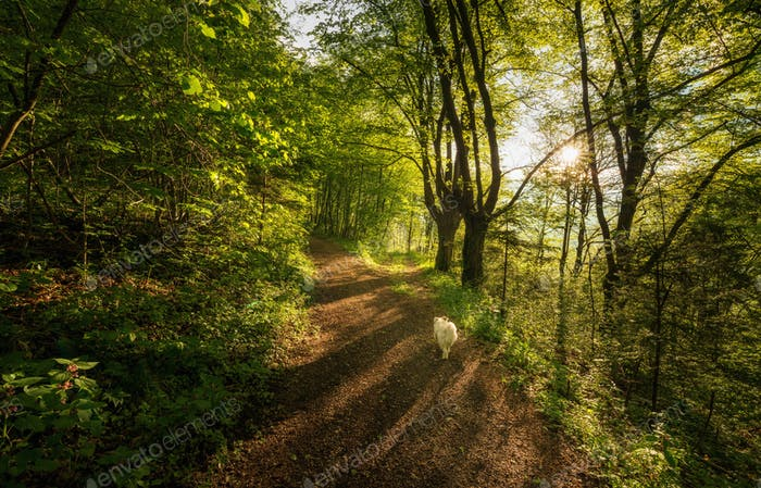Path through the forest in the morning