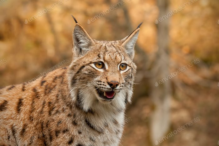 Detailed close-up of adult Eurasian lynx in autumn forest with blurred background