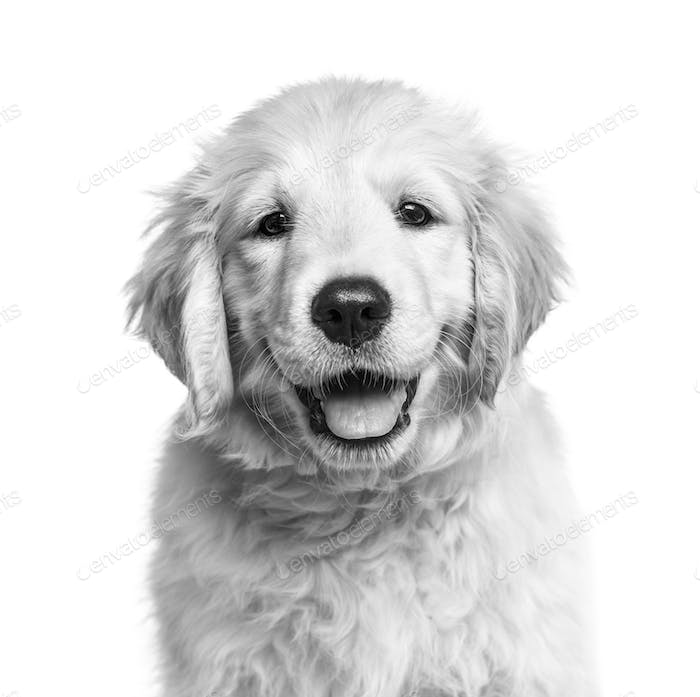 Close-up of a golden retriever pup in black and white, isolated on white