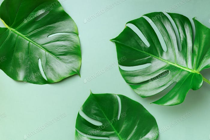 Monstera leaves minimal background with copy space. Flat lay. Top view. Summer or spring nature