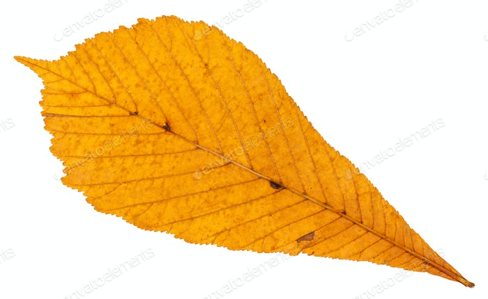 back side of dried autumn leaf of horse chestnut