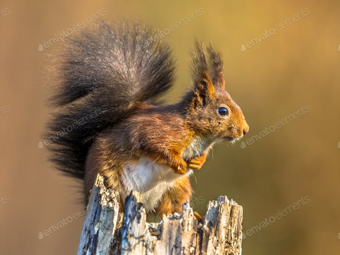 Red squirrel looking alert