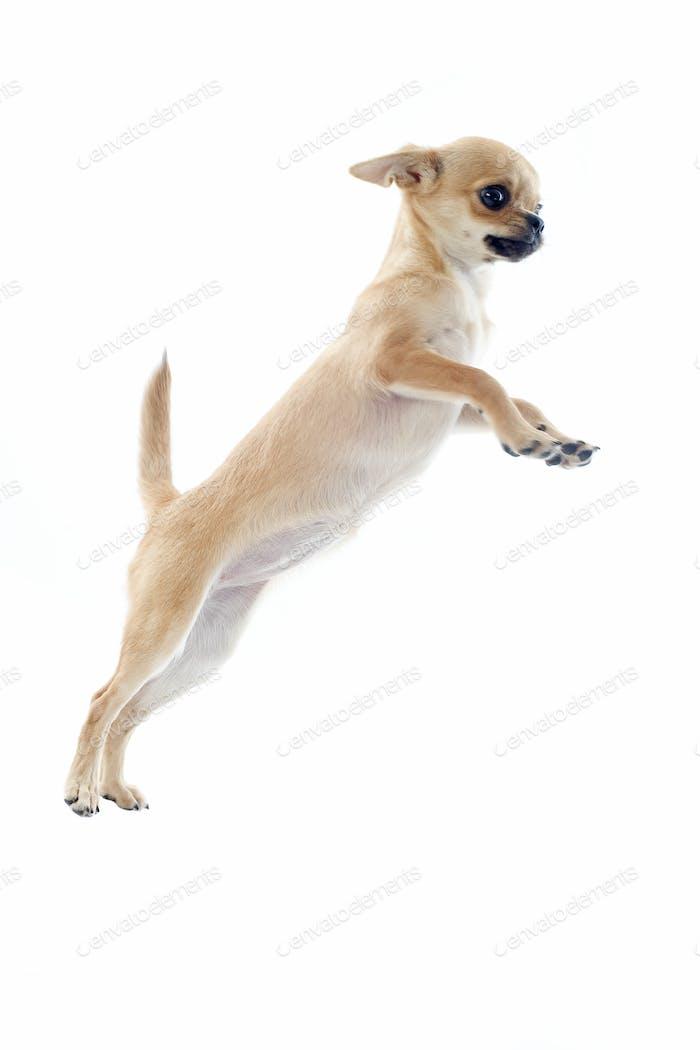 Springen Welpen Chihuahua