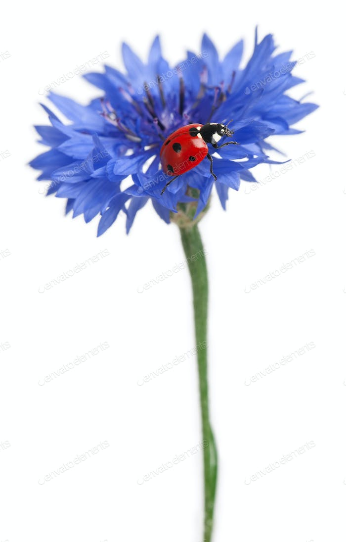 Seven-spot ladybird or seven-spot ladybug on Cornflower, Coccinella septempunctata, on white