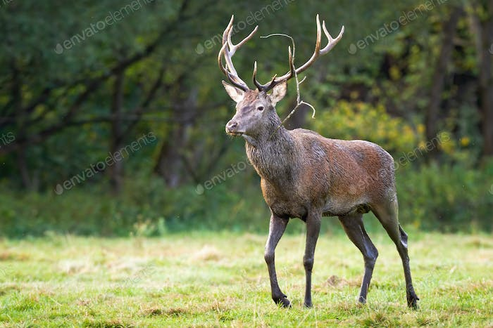 Muddy and wet red deer stag coming closer on a green meadow in summertime
