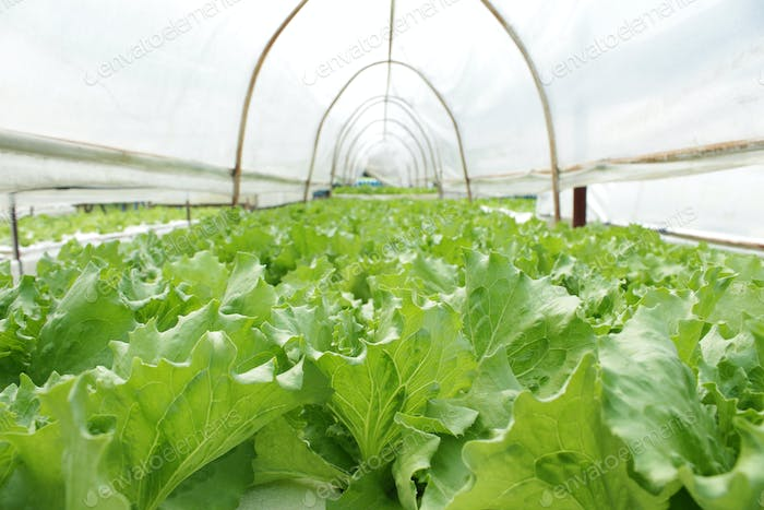 กกกFresh butterhead salad lettuce
