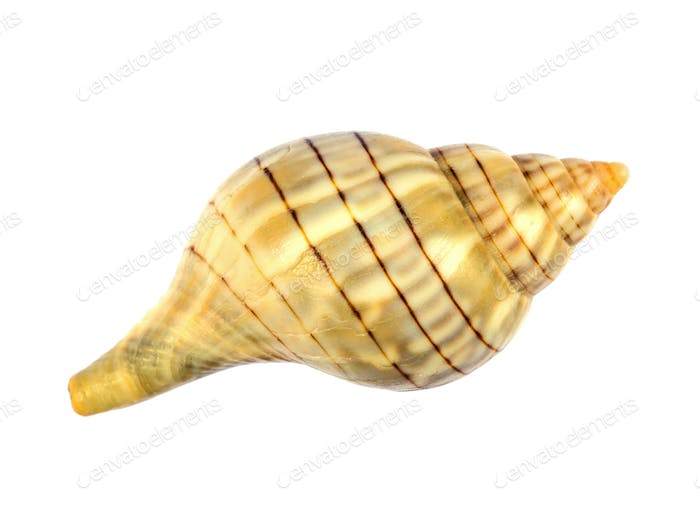 Banded Tulip Sea Shell