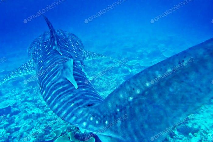 Whale Shark, South Ari Atoll, Maldives