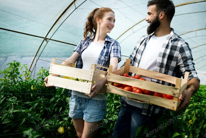 Two people collect pick up the harvest of tomato in greenhouse