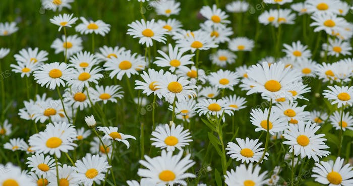 White chamomile in the meadow field
