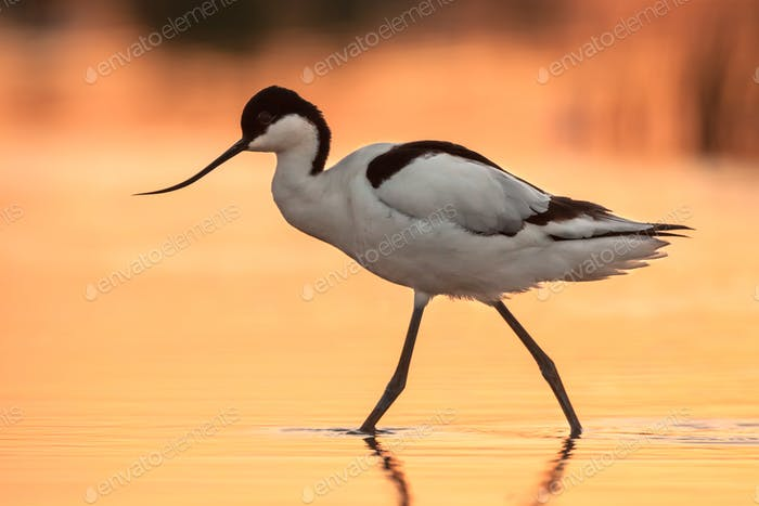 Wading pied avocet with orange background