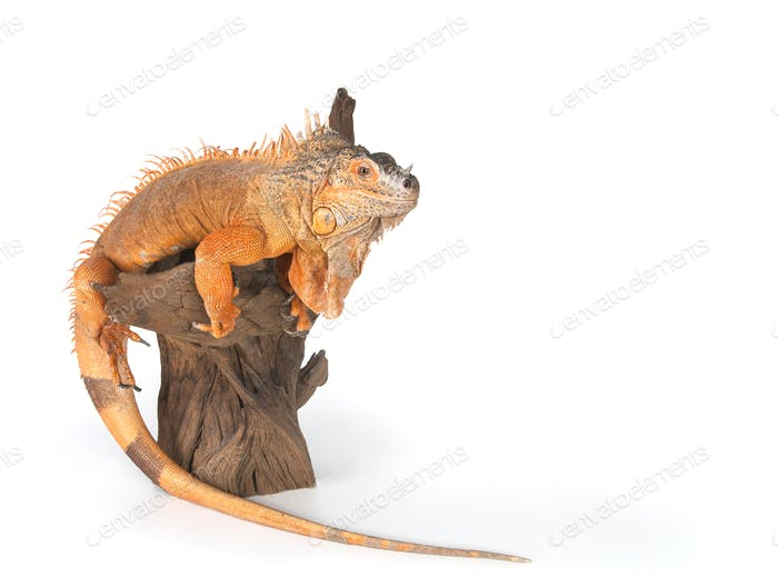 Common Iguana (red morph) sitting on driftwood close up.