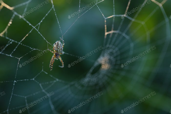 Cross spider sitting on web in summertime morning
