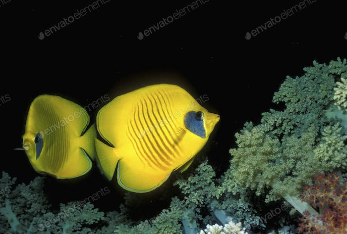 Masked butterflyfish, bright yellow fish underwater, above the seabed.