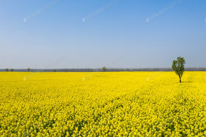 beautiful springtime landscape,golden rapeseed flowers in blossom