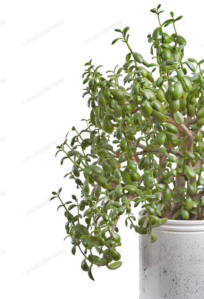 Crassula in indoor pot.