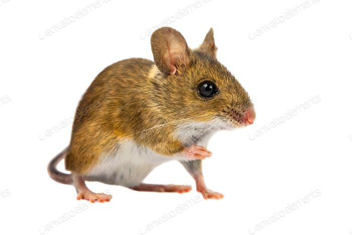 Curious Field Mouse on white background
