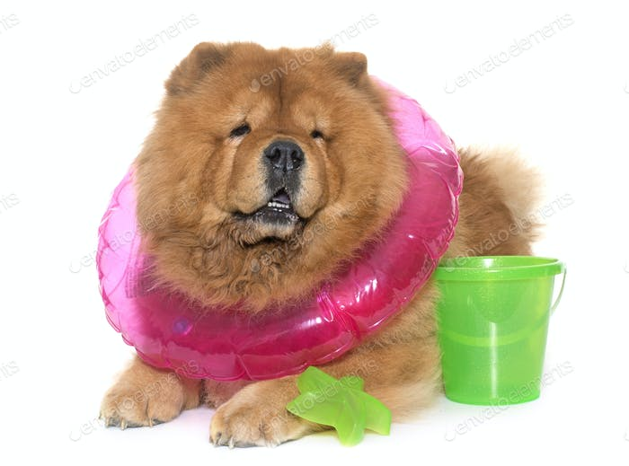 Chow Chow Hund im Sommer