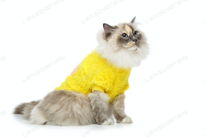 schöne Birma Katze in gelbem Pullover
