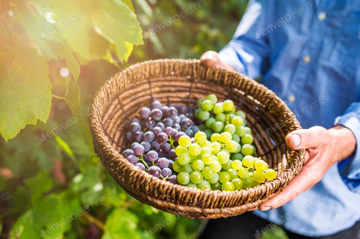 Unrecognizable senior man holding a basket with grapes