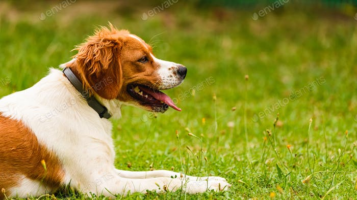 Brittany Spaniel dog lying in grass on summer day