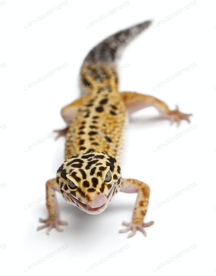 Tangerine Leopard gecko, Eublepharis macularius, in front of white background