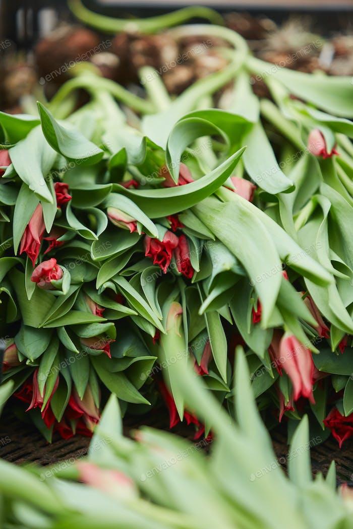Fresh Tulips in Plantation
