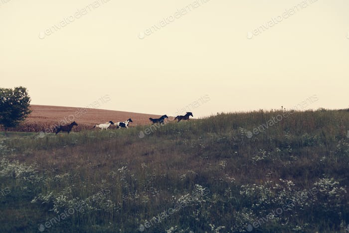 Pferde laufen auf einem Hügel