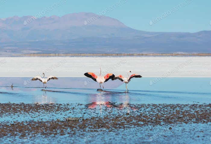 Flamingo in Bolivien