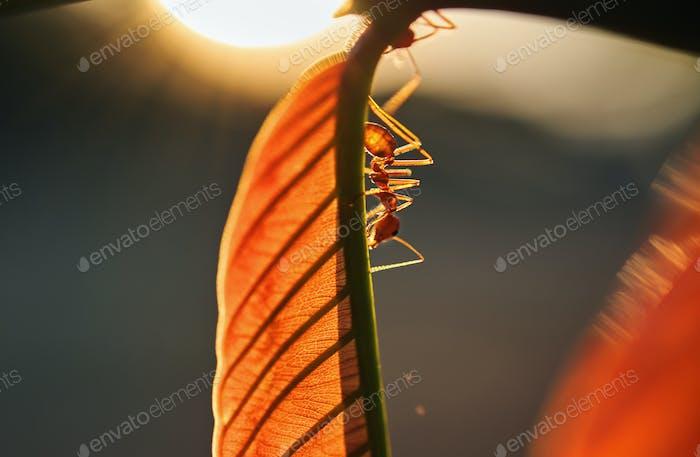 Una hormiga que sube en la hoja