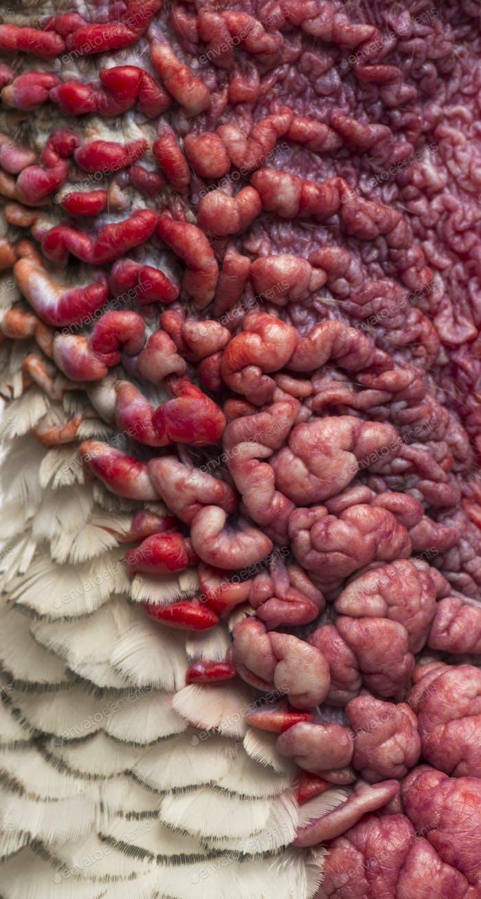 Makro einer Türkei Haut, Meleagris gallopavo