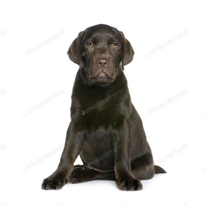 Labrador puppy, 10 weeks old, sitting in front of white background, studio shot