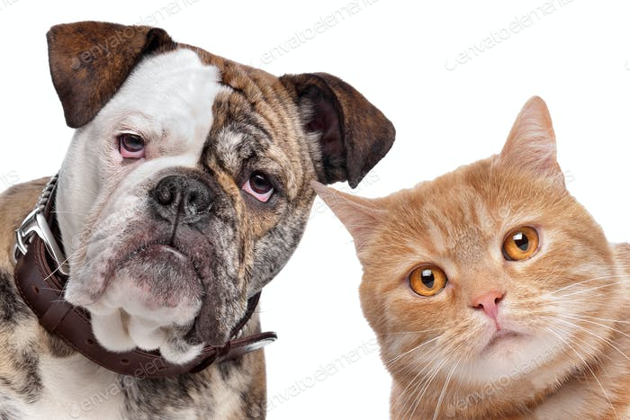 English Bulldog and a red cat