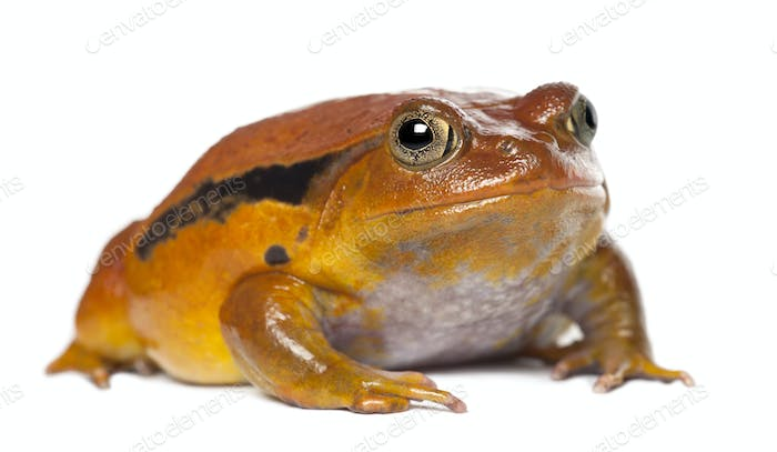 False Tomato Frog, Dyscophus guineti, portrait against white background