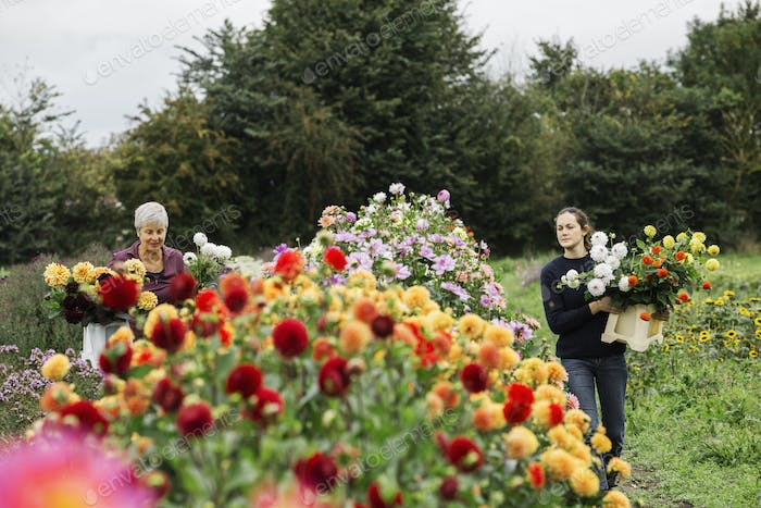 Two people working in an organic flower nursery, cutting flowers for flower arrangements and