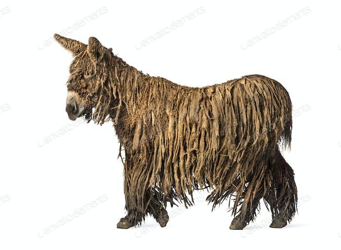 Side view of a walking Poitou donkey