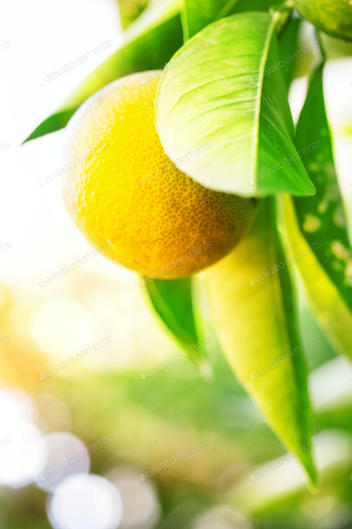 Yellow mandarin on a branch