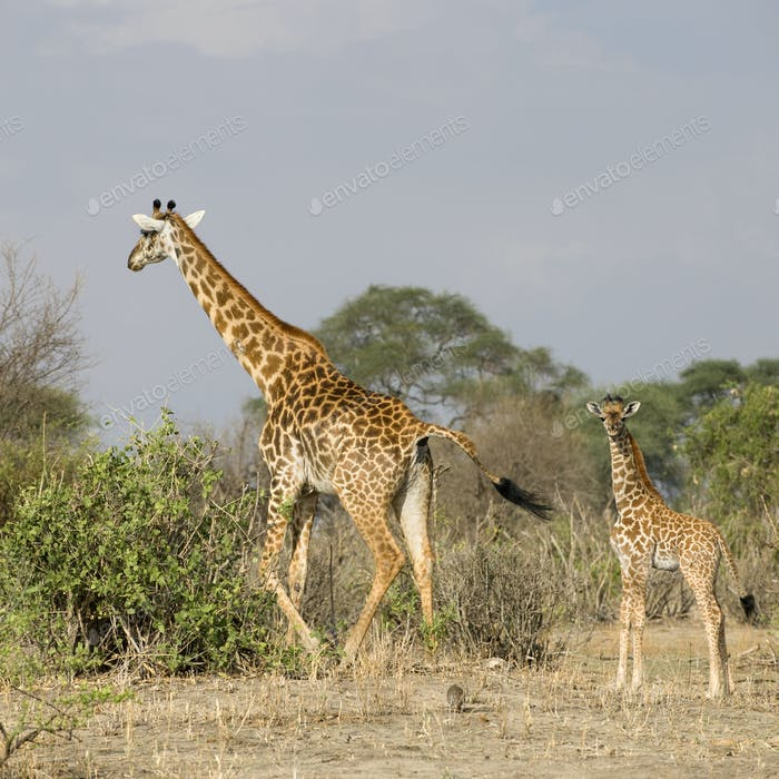 Giraffes walking in the Serengeti, Tanzania, Africa