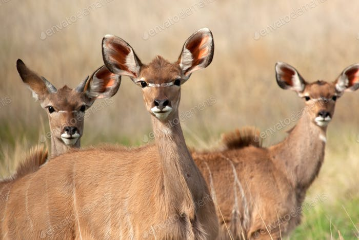Kudu antelopes