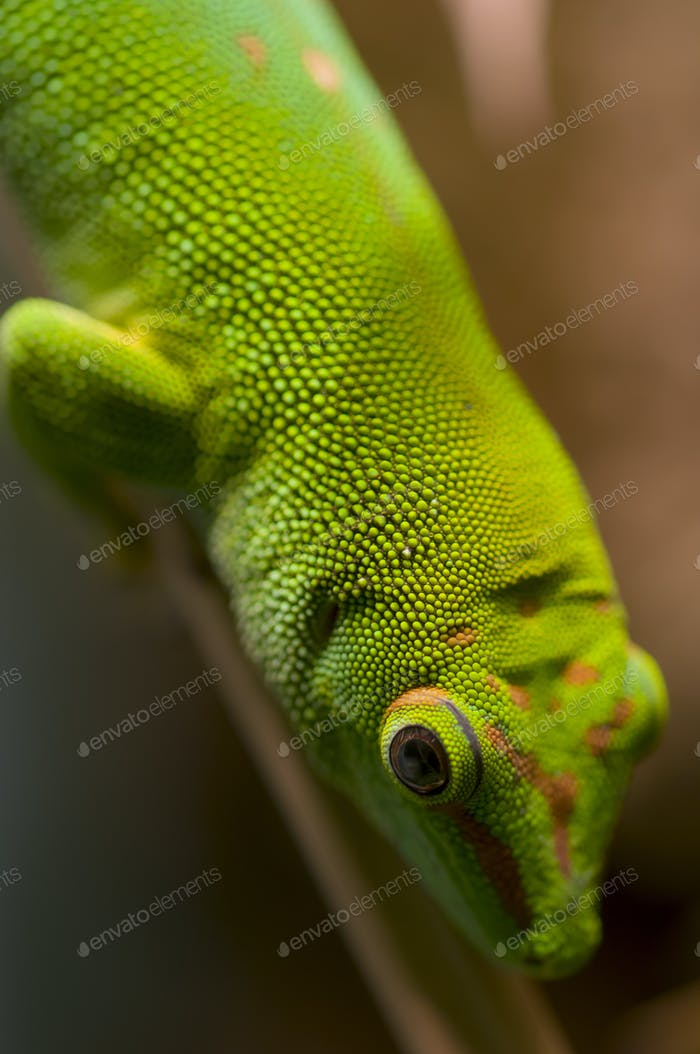 Tropical gecko